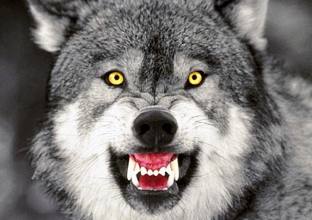 История с нападением волка на девочку в чешском зоопарке получила продолжение