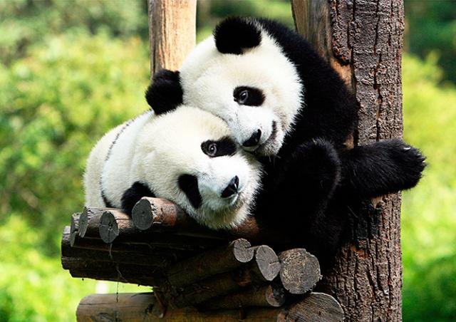 Панд в Пражском зоопарке не будет