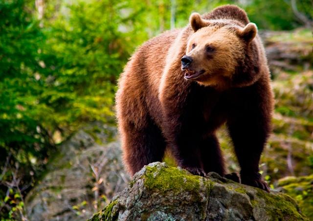 Пьяный чех забрался в вольер к медведю: видео