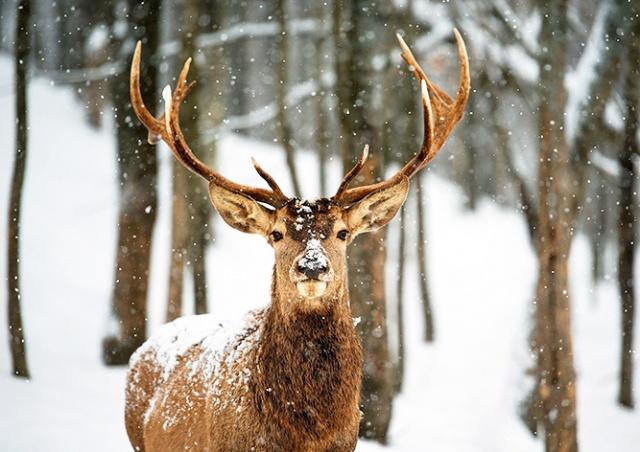 Тысячи жителей Чехии заступились за приговоренного к смерти оленя