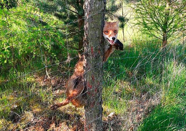 Пражские полицейские спасли от гибели дикую лисицу