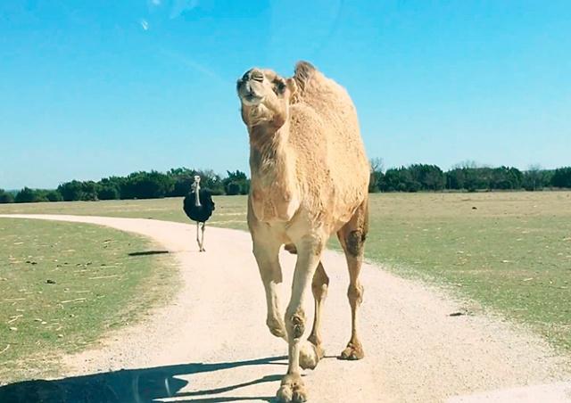 Наглый верблюд объел туристок в Техасе: видео