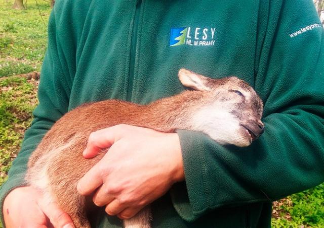 На территории пражской больницы пес загрыз 7 детенышей муфлонов