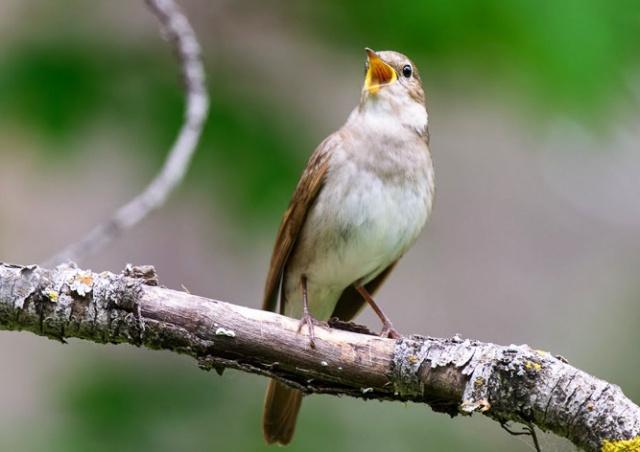 В Чехии появилось «медленное радио» с пением птиц