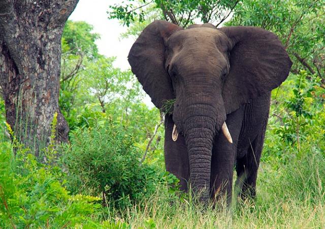 В Чехии «слон-грабитель» травмировал пенсионерку