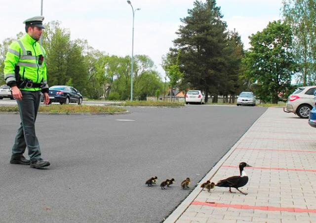 В Чехии полиция перекрыла дорогу ради «утиного кортежа»: видео