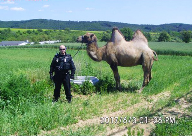 В Чехии по городу разгуливал верблюд: видео