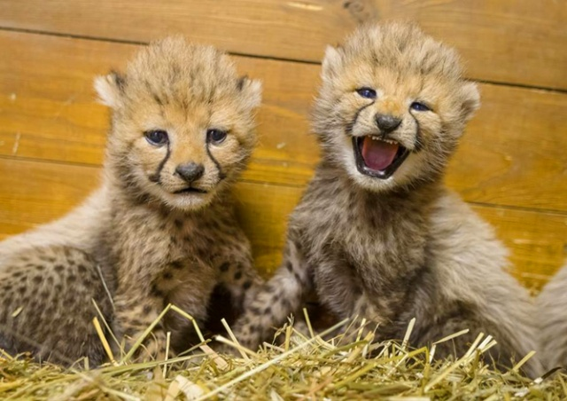 В Пражском зоопарке родились пятеро гепардят: видео