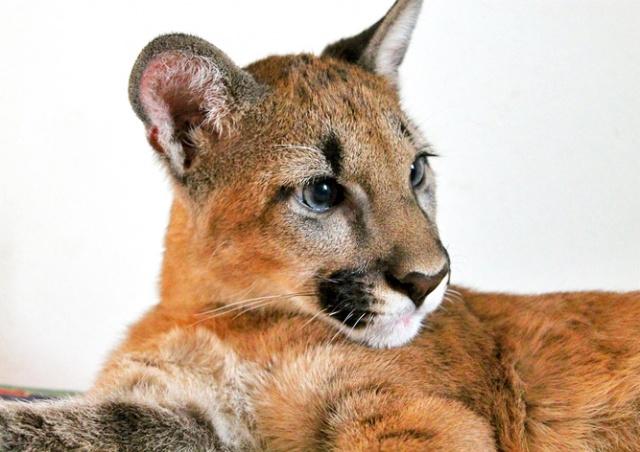 Из чешского зоопарка сбежала пума