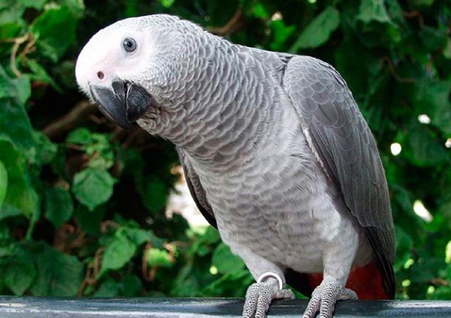 «Показания» попугая помогли осудить американку за убийство мужа