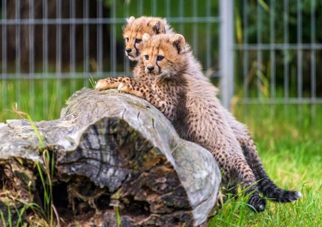 Пражский зоопарк представит посетителям пятерых гепардят