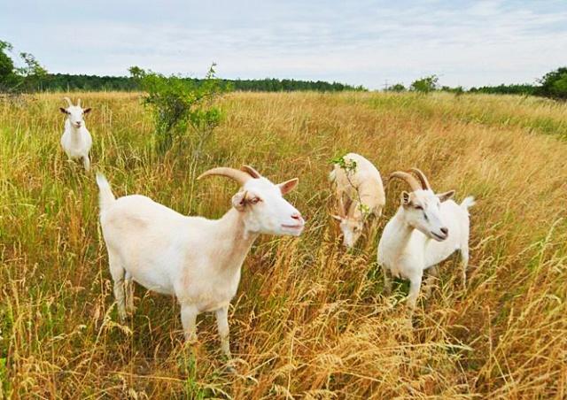 Жителям Праги предложили побыть пастухами