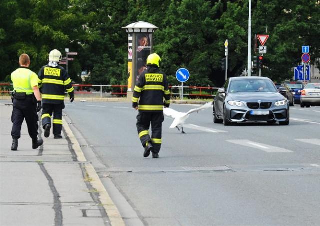 Пражские полицейские и пожарные четверть часа гонялись за лебедем