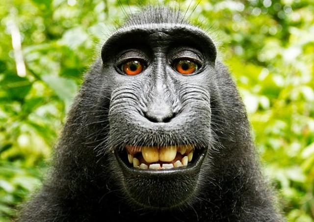 Дикие обезьяны получат 25% прибыли от селфи сородича