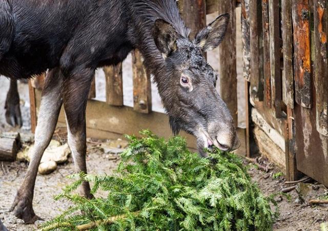 Обитателям Пражского зоопарка скормили сотни непроданных ёлок: видео