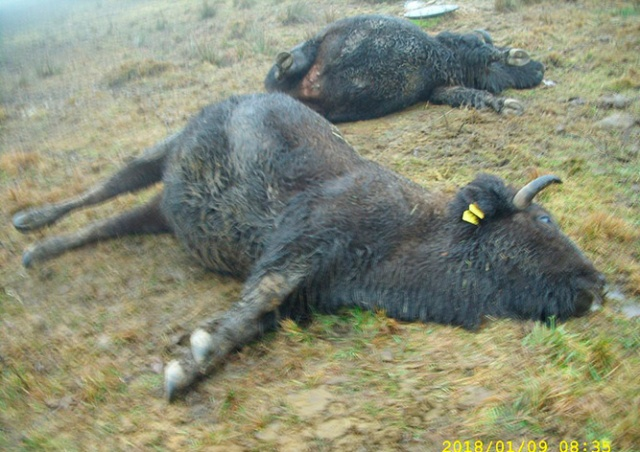 В Чехии током убило трех бизонов стоимостью 3 млн крон