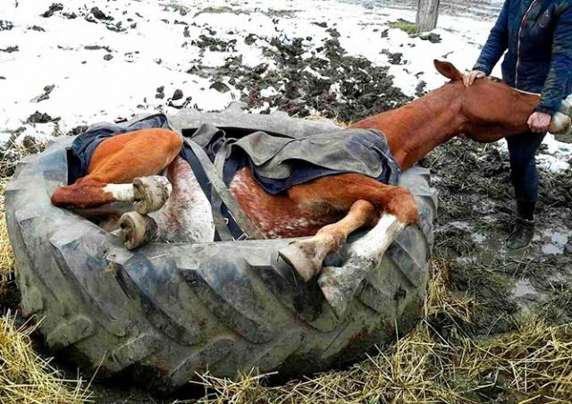 В Чехии конь упал и застрял в тракторной шине