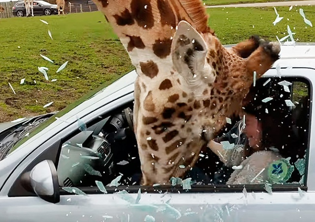 Посетительница сафари-парка по глупости едва не травмировала жирафа: видео