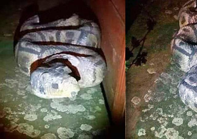 Жительница Праги вызвала полицию из-за гипсовой змеи