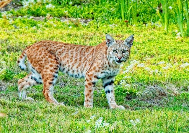 Рысь покусала 5-летнего мальчика в чешском зоопарке