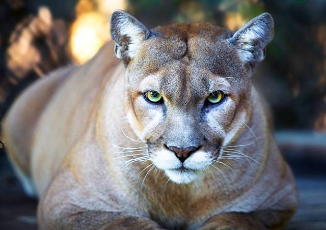 Пума покусала 3-летнюю девочку в чешском зоопарке