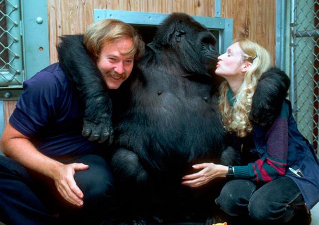 Умерла знаменитая «говорящая» горилла Коко