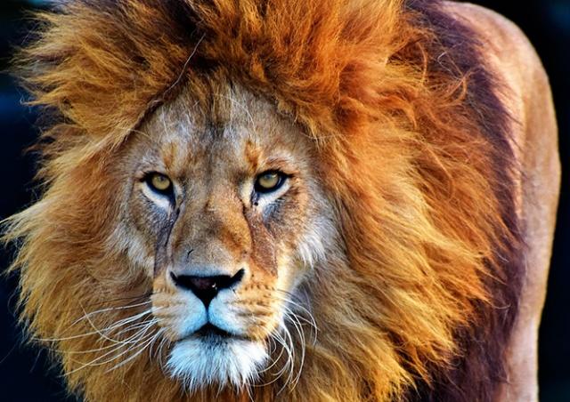 В Чехии лев растерзал мужчину