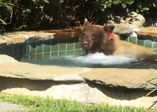 Наглый медведь забрался в джакузи и выпил коктейль: видео