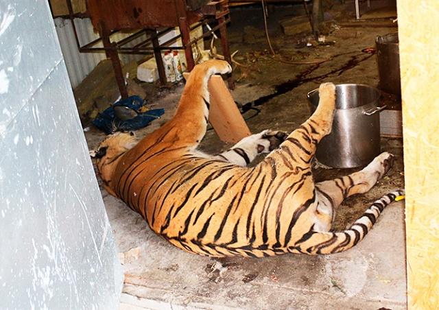 В чешском зоопарке убивали и перерабатывали тигров
