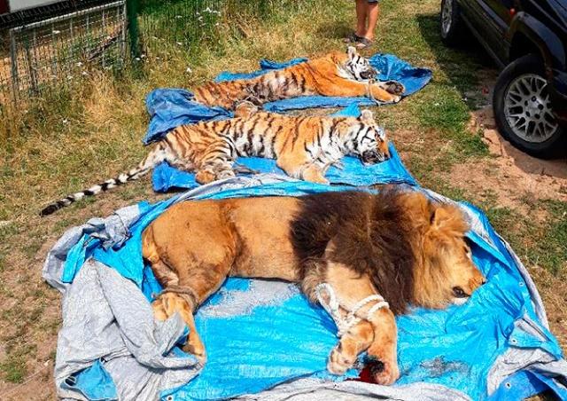 Сбежавших из чешского зоопарка тигров и льва поймали