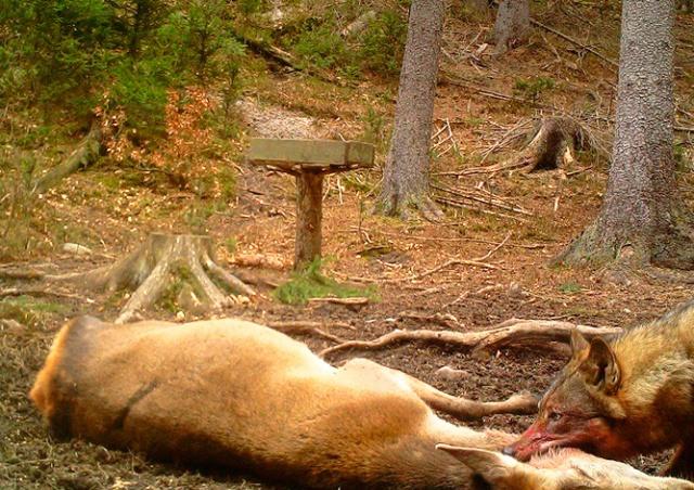 В «Чешскую Швейцарию» вернулись волки