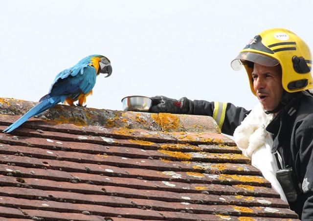 Сидевший на крыше попугай обматерил пожарных, приехавших его спасать