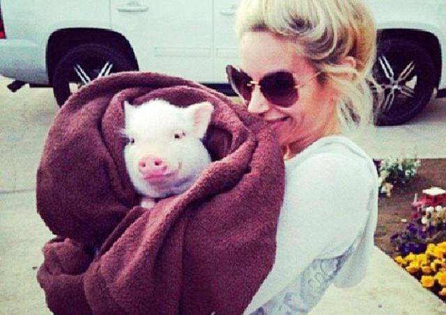 Купленный американкой минипиг вырос в 114-килограммовую свинью