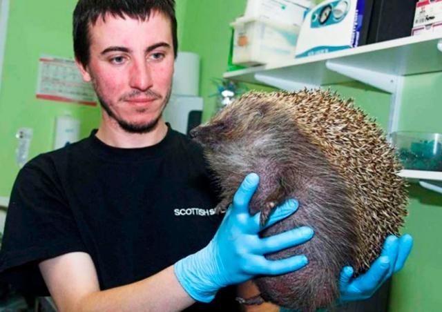 Пражские ветеринары спасли ежа с синдромом воздушного шарика