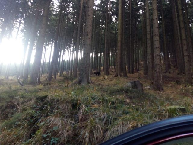 Туристы сфотографировали медведя в чешском лесу