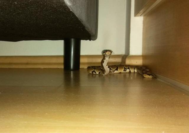 Замечательный сосед: жительница Праги обнаружила за диваном змею