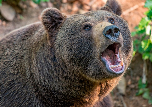 В Чехии турист запечатлел схватку медведя и кабана в лесу: видео
