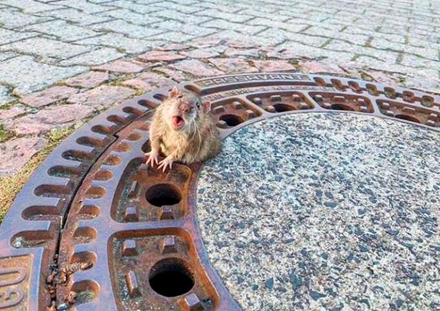 В Германии пожарные спасли застрявшую в люке крысу: видео