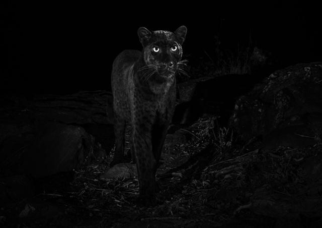 В Африке впервые за 100 лет сфотографировали черного леопарда
