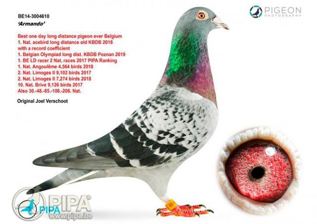 На аукционе в Бельгии почтового голубя продали за 1,25 млн евро