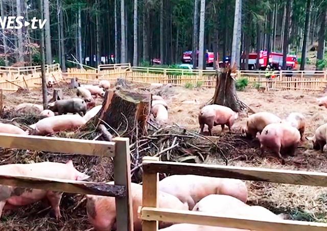 В Чехии перевернулся грузовик с живыми свиньями: видео