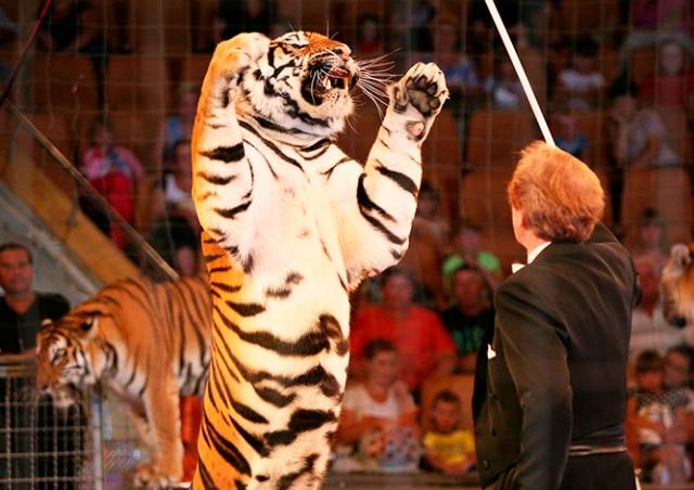 Опрос: большинство жителей Чехии одобряет использование животных в цирках