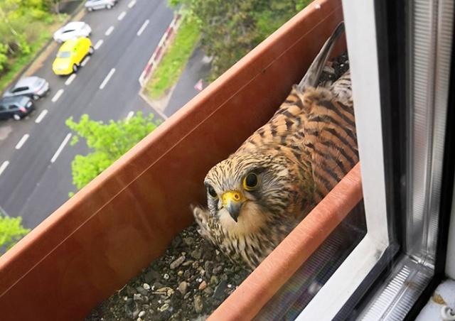 Два сокола обустроили гнездо на окне пражской многоэтажки: видео
