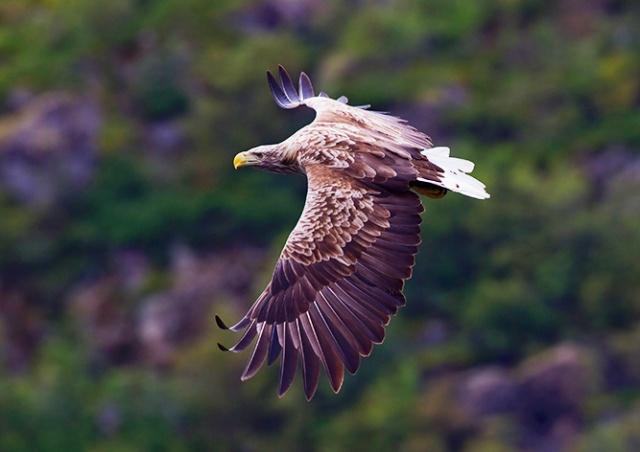 В Чехии неизвестные отравили редкого орлана