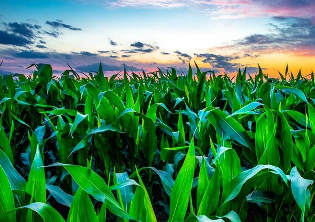 Житель Праги заблудился в кукурузном поле и вызвал полицию
