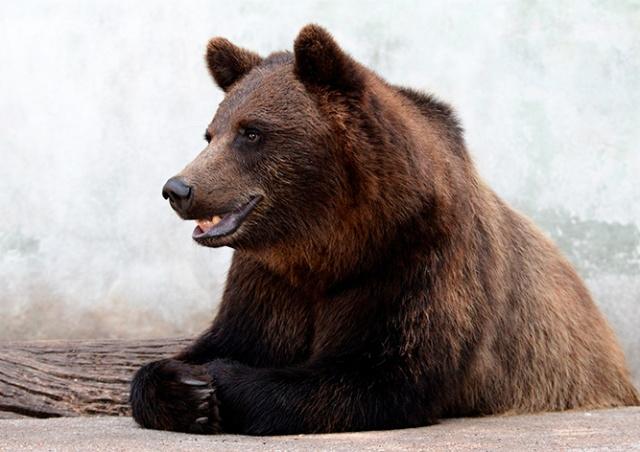 Изъятых у контрабандиста российских медведей поселили в Чешском Крумлове