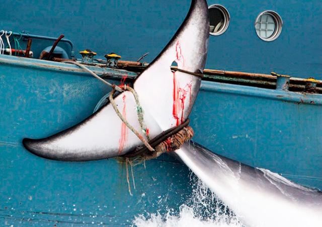 Япония официально возобновила китобойный промысел