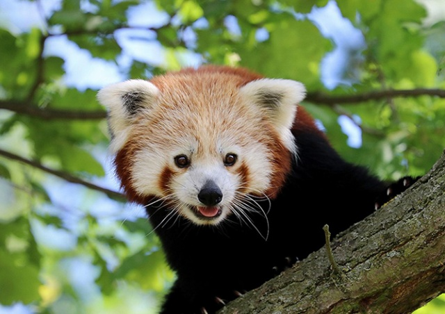 Из чешского зоопарка сбежала красная панда