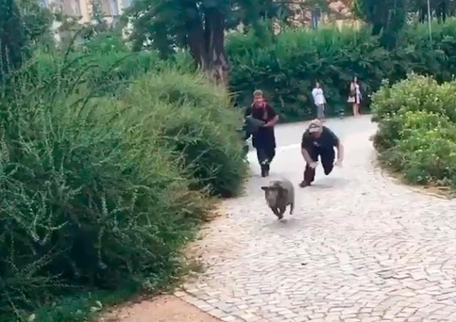 В Чехии полицейские 8 часов гонялись за свиньями: забавное видео