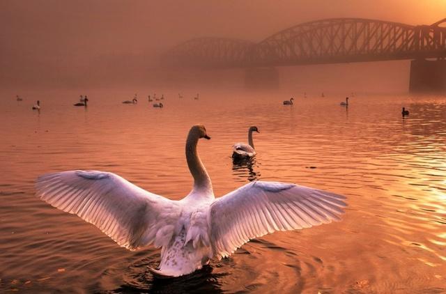 Фото с пражскими лебедями победило на международном конкурсе